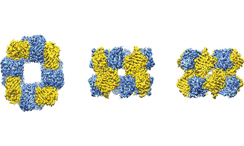 An illustrative model of the cryo-EM reconstruction.